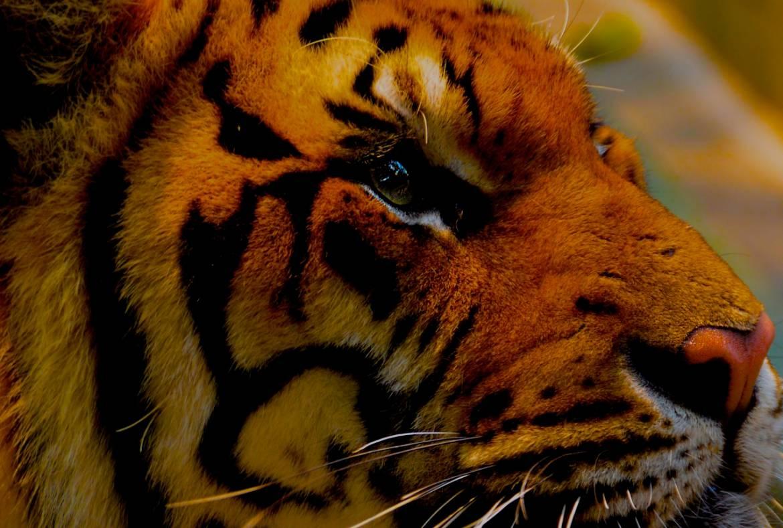 tiger-1343369_1280-1.jpg